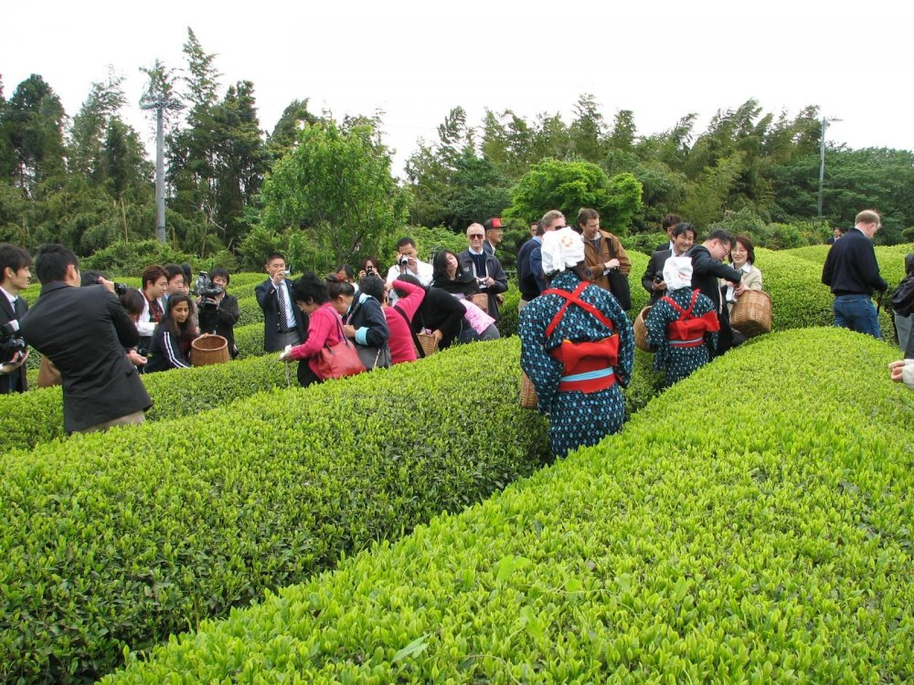 Hand-on Experience of Tea-Picking